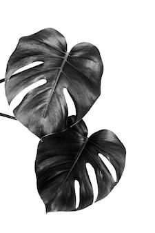 Blätter einer tropischen monsterpflanze lokalisiert auf einer weißen wand, schwarz und weiß