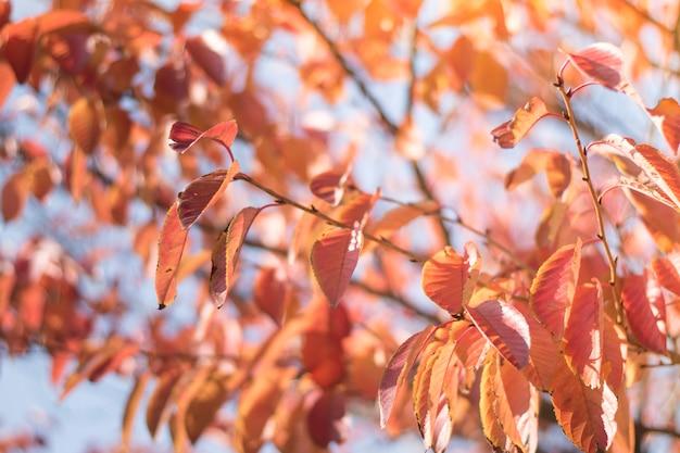 Blätter färben rot im frühjahr in tokyo, japan