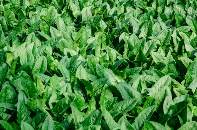 Blätter spinacia oleracea