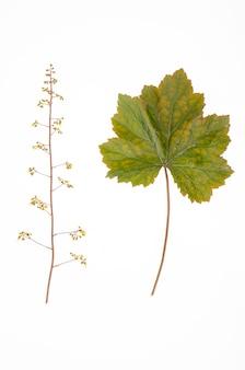 Blätter und blüten der ziergartenpflanze heuchera auf weißem hintergrund.