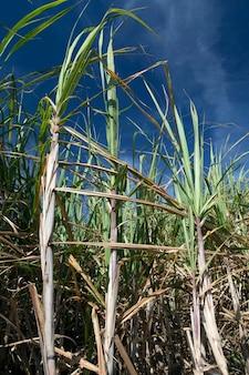 Blätter und zuckerrohrstiel