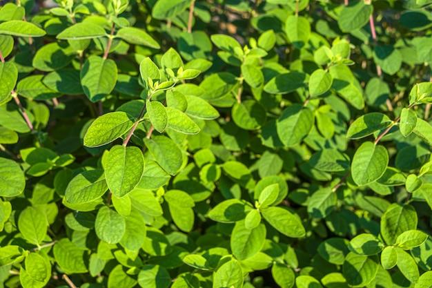 Blätter von echtem, gemeinem oder waldgeißblatt. natürlicher hintergrund.
