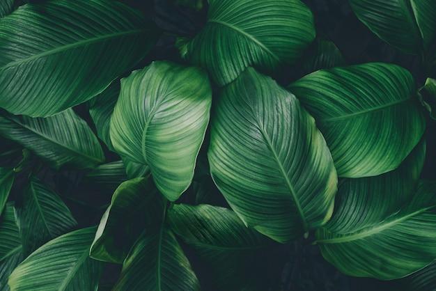 Blätter von spathiphyllum cannifolium abstrakte grüne dunkle textur natur hintergrund tropisches blatt