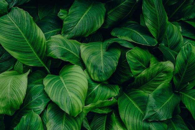 Blätter von spathiphyllum cannifolium abstrakte grüne textur natur hintergrund tropisches blatt