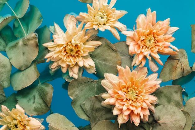 Blasse chrysanthemen in blau gefärbtem wasser