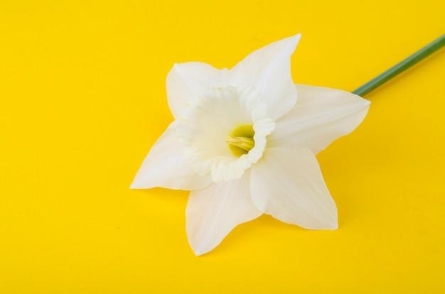Blasse helle blüten von narzissen auf leuchtendem gelb