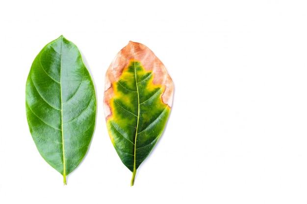Blatt ansteckend (blattkrankheit) mit grünen blättern in der schlechten umgebung lokalisiert auf weißem hintergrund - naturkonzept.