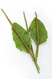 Blatt der größeren wegerich (plantago major) isoliert auf weißer wand