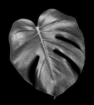 Blatt einer tropischen monsterpflanze lokalisiert auf einem schwarzen hintergrund, schwarzweiss-foto