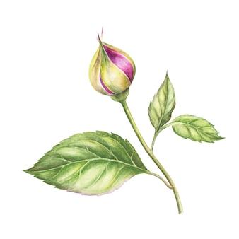 Blatt rose aquarell