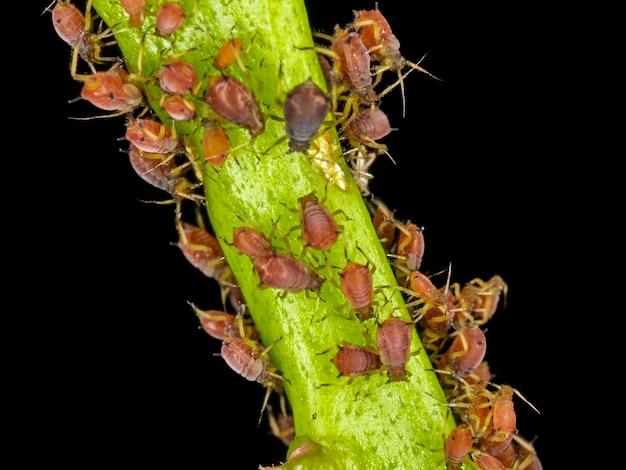 Blattläuse oder pflanzenläuse sind winzige insekten, die sich von pflanzensaft, der überfamilie der blattläuse oder aphidoidea ernähren.
