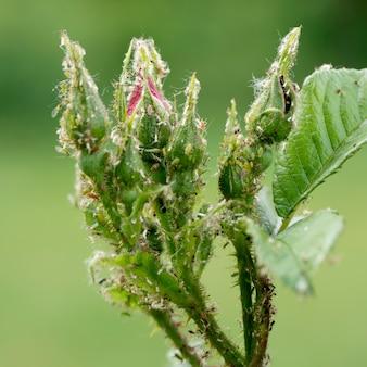 Blattläuse und milben an einem rosentrieb, nahaufnahme.