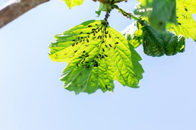 Blattlaus frisst blätter eines baumes. baumkrankheit