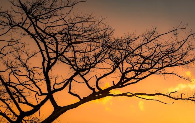 Blattloser baum der silhouette und sonnenuntergangshimmel. toter baum auf goldenem sonnenuntergangshimmel. friedliche und ruhige szene. schönes zweigmuster. schönheit in der natur. dürre land im sommer. abendhimmel.