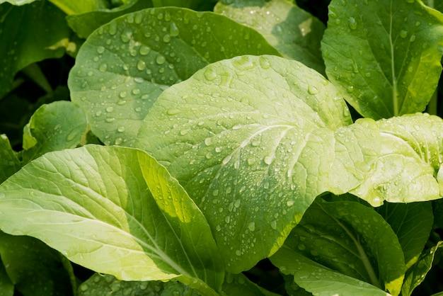 Blattsenf oder brassica juncea auf naturhintergrund.