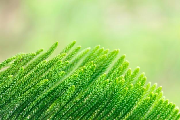 Blattspitze von araucaria heterophylla hat grün, dreieckbaum oder lebenden weihnachtsbaum.