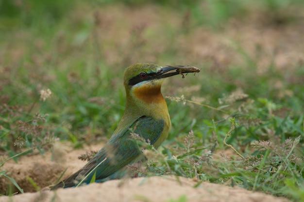 Blau-angebundener bienenfresservogelstand auf dem sand gerieben in der natur thailand
