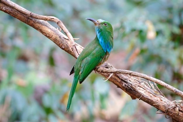 Blau-bärtiger bienenfresser nyctyornis athertoni schöne vögel von thailand