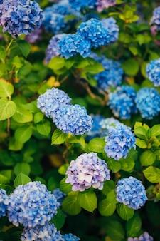 Blau-blau-rosa blumenhortensie in der altstadt von perast