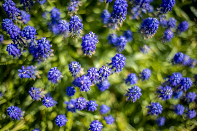 Blau blühende traubenhyazinthen muscari frühlingsblumen draufsicht