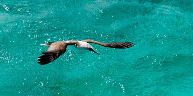 Blau-füßiger dummkopf (sula-nebouxii) fliegend über den ozean, san cristobal island, galapagos-inseln, ecuador