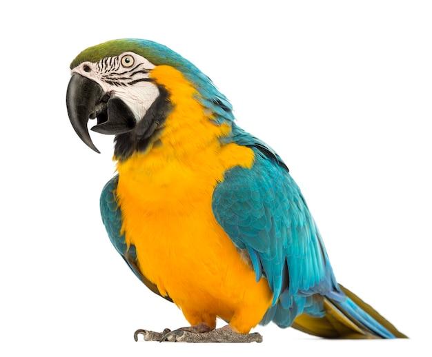 Blau-gelber ara, ara ararauna, 30 jahre alt, vor einem weißen raum