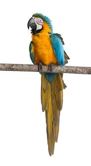 Blau-gelber ara, ara ararauna, thront auf einem ast