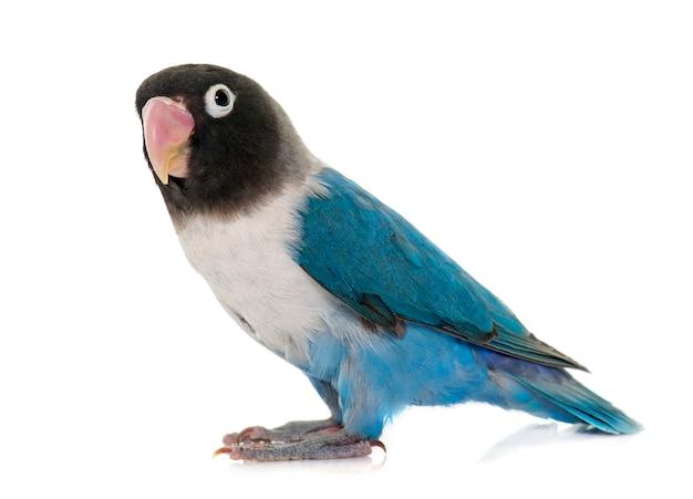 Blau maskierter lovebird