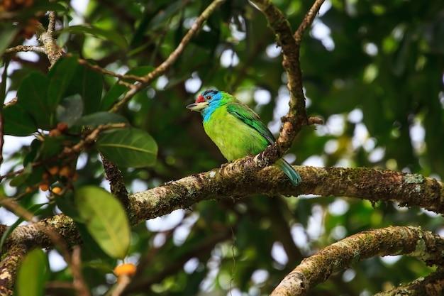 Blau-throated barbet auf feigenbaum