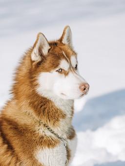 Blauäugige heisere braune weiße farben des hundes sitzt auf einem schneehintergrund