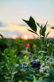 Blaubeerbusch bei sonnenuntergang, bio-reif mit saftigen beeren, gerade zur ernte bereit, blaubeerpflanze wächst in einem gartenfeld, . blaue beere, die an einem ast hängt, bio, gesundes bio-lebensmittel