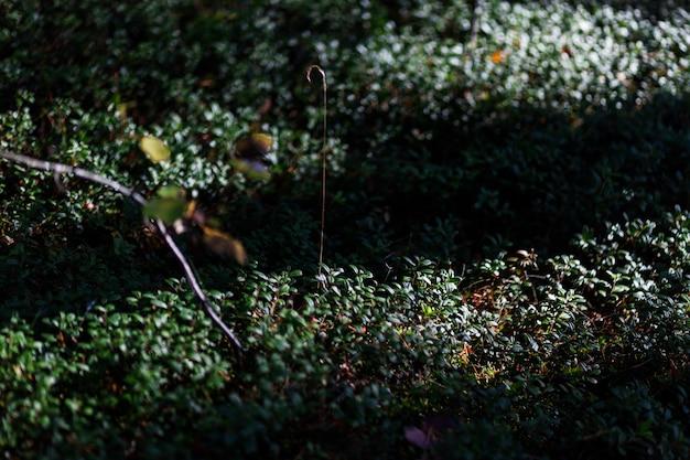 Blaubeersträucher im wald unter den sonnenstrahlen in nahaufnahme