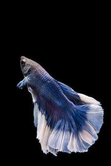 Blaue betta fische, siamesischer kämpfender fisch