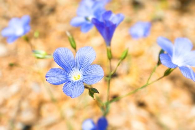 Blaue blumen auf dem weichen gelben sandhintergrund