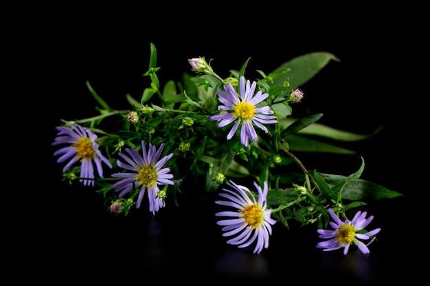 Blaue blumen der wilden alpenaster oder der violetten kamille auf schwarzem hintergrund. symphyotrichum puniceum (lila-stielige aster)