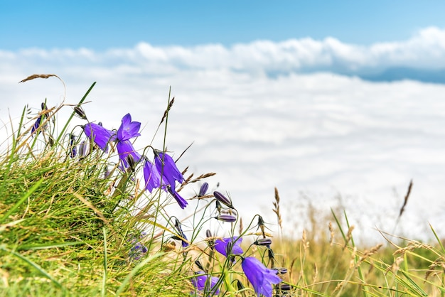 Blaue blumen glockenblumen mit grünem gras über weißen wolken