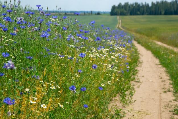 Blaue blumen von kornblumen in einem feld mit hafer am rande einer landstraße
