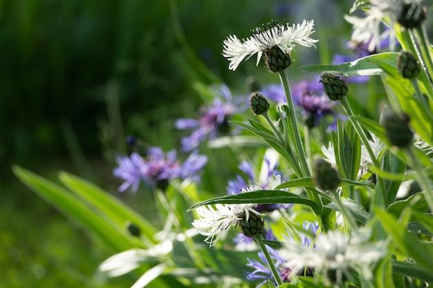Blaue blumen von kornblumen, rustikaler strauß im sommer gepflückt gelegen
