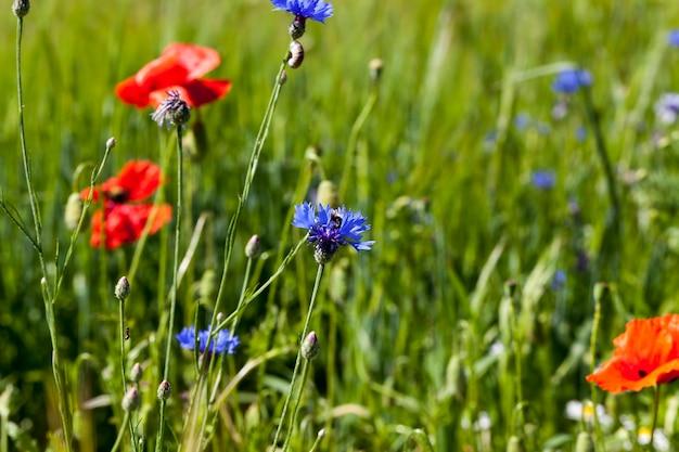 Blaue blumen wachsen im sommer auf den feldern, blaue kornblumen im sommer