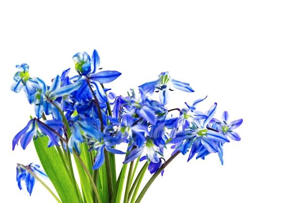 Blaue erste frühlingsblumen scilla squill schneeglöckchen bluebell bouquet isoliert auf weißem hintergrund
