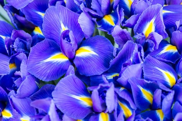 Blaue frühlingsblumen-iris mit weichem fokus und bokeh im hintergrund