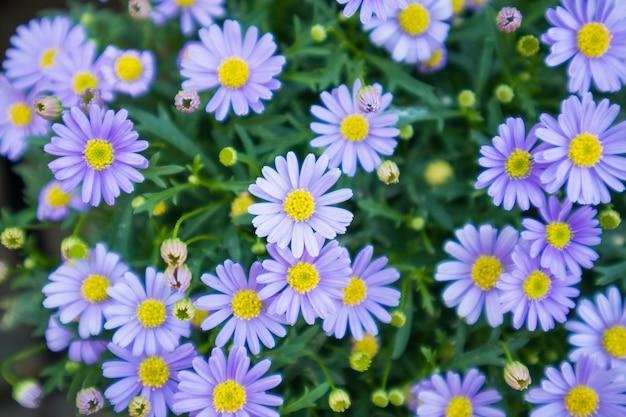Blaue gänseblümchenblumen