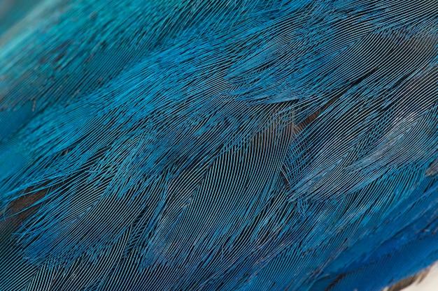Blaue gefiederbeschaffenheit, federhintergrund. der krageneisvogelvogel (todiramphus chloris)