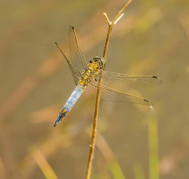 Blaue graue libelle, die auf trockener vegetation sitzt, wild