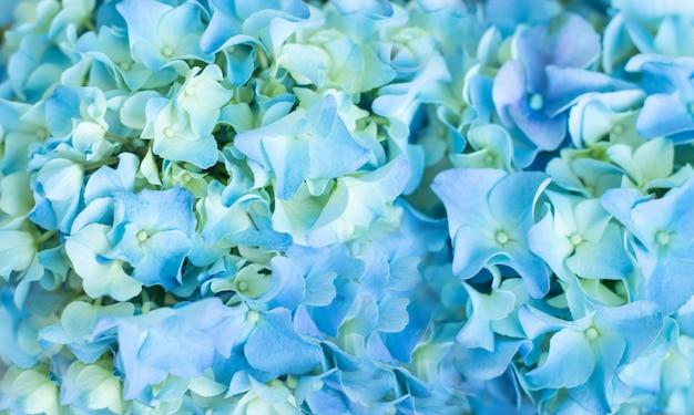 Blaue hortensie (hydrangea macrophylla) oder hortensia-blüte in leichten farbabweichungen von blau bis grün