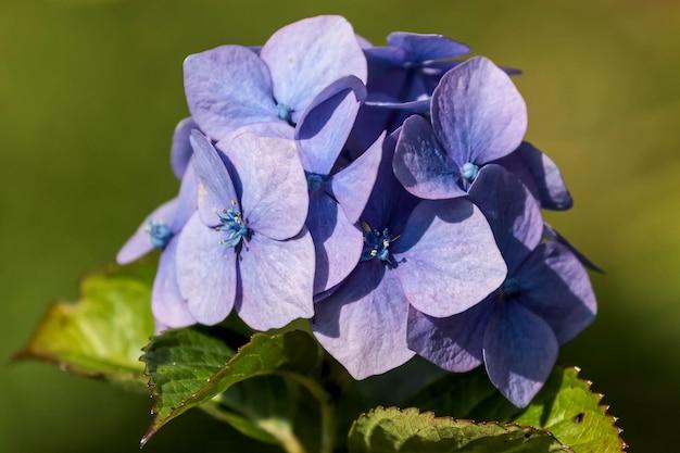 Blaue hortensie in voller blüte