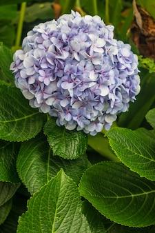 Blaue hortensie macrophylla blume