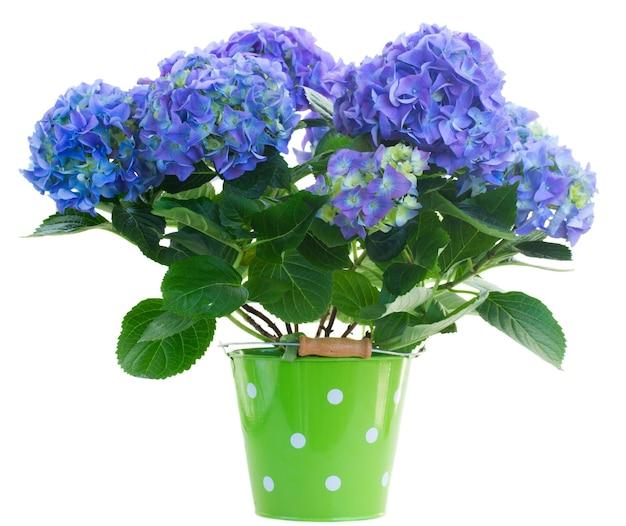 Blaue hortensienblumen im grünen topf lokalisiert auf weißem hintergrund