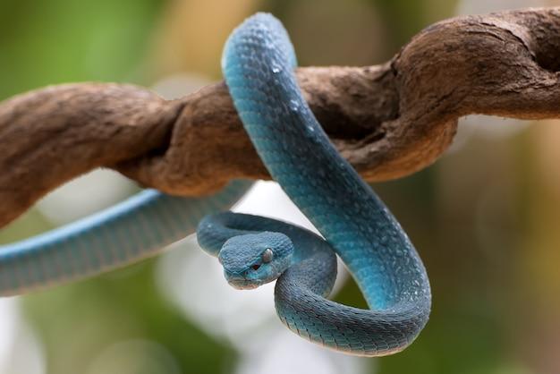 Blaue insularis grubenotter nahaufnahme, giftschlange