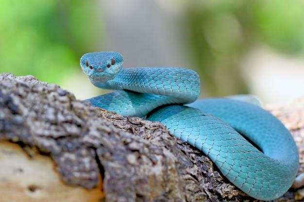 Blaue insularis grubenotter-schlangen, trimeresurus albolabris